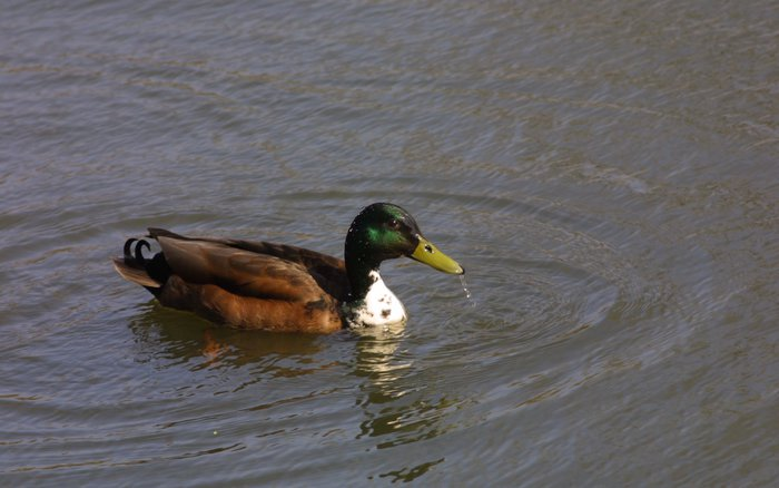 A duck in a pond